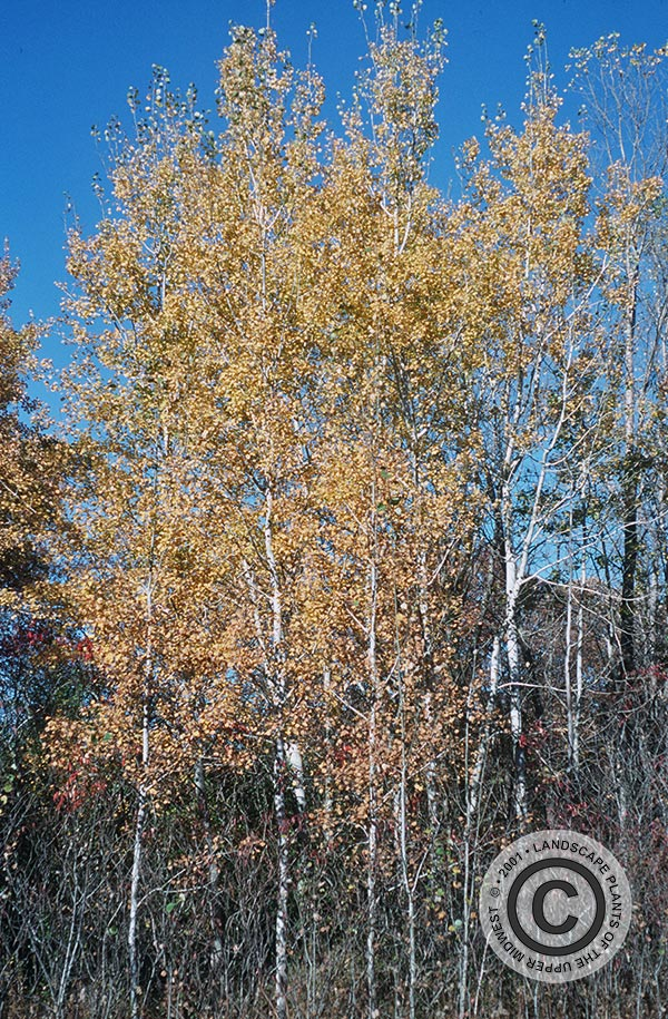 {Picture of Quaking Aspen}