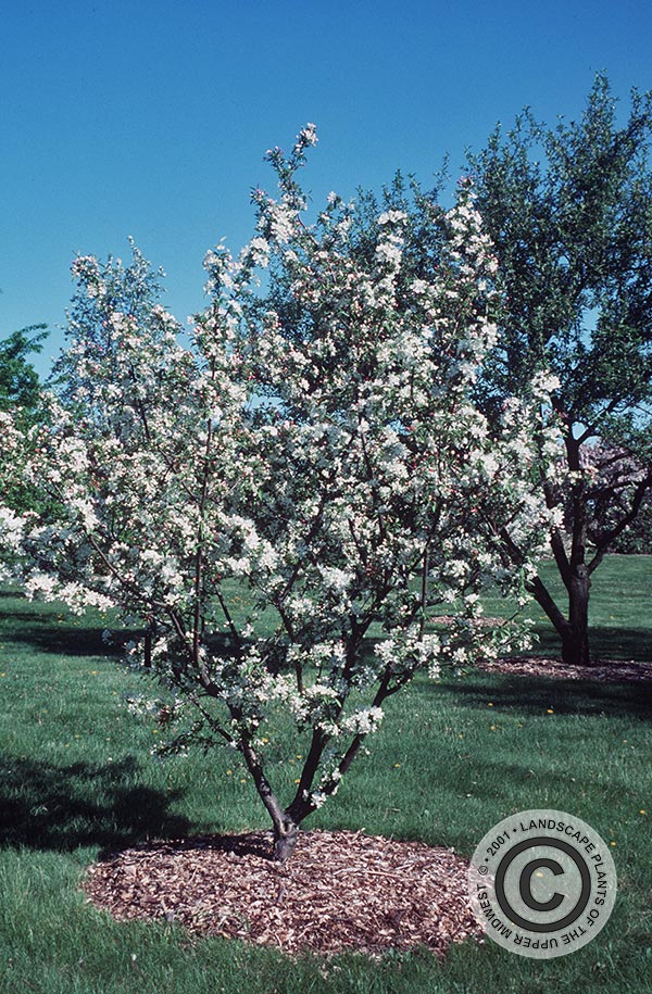 {Picture of Amberina Flowering Crabapple}