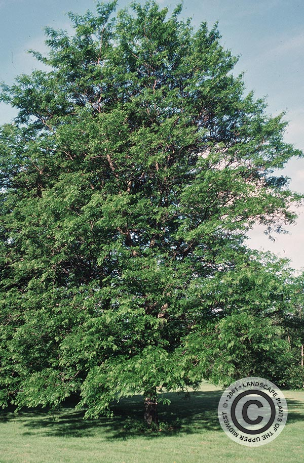 {Picture of Imperial Thornless Common Honeylocust}