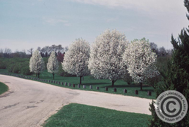 {Picture of Callery Pear}