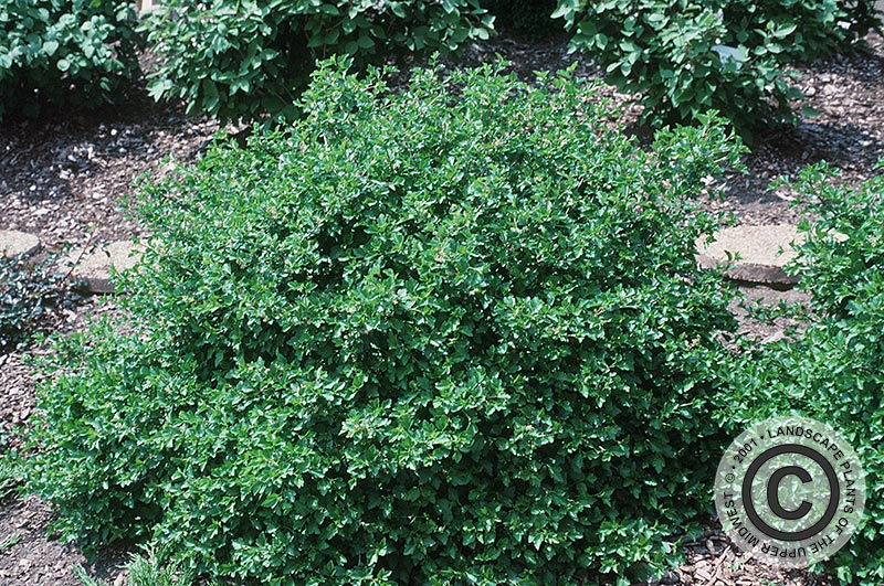 {Picture of Green Mound Alpine Currant}