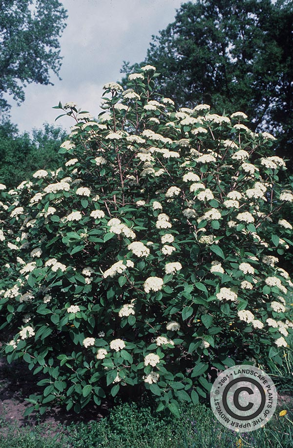 {Picture of Wayfaringtree Viburnum}