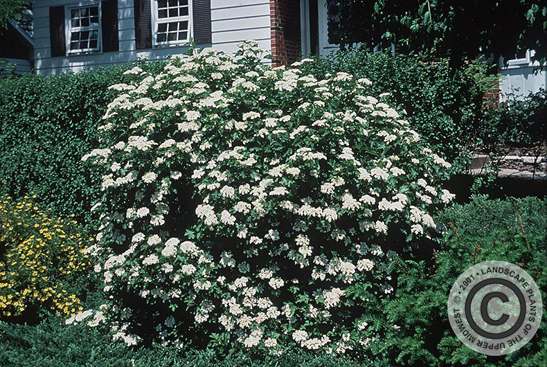 {Picture of Compact European Cranberrybush Viburnum}