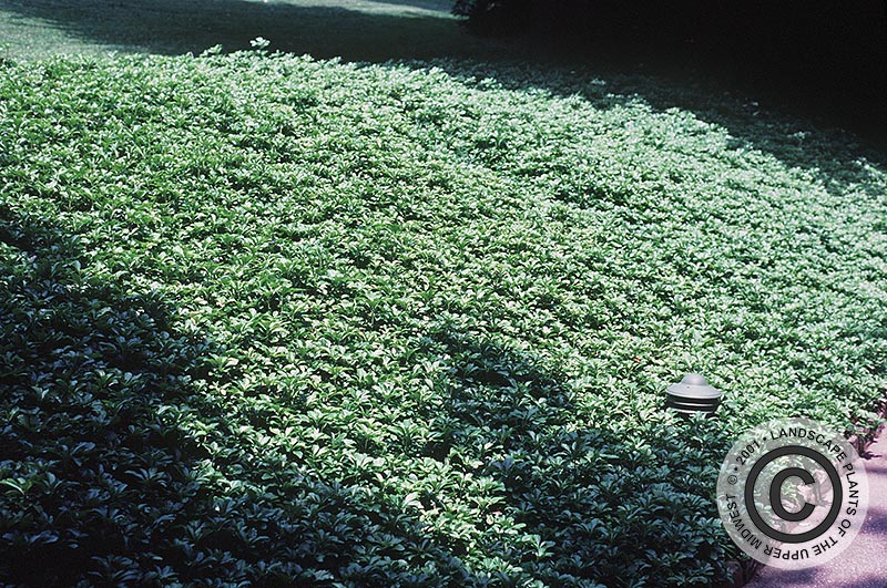 {Picture of Japanese Pachysandra}