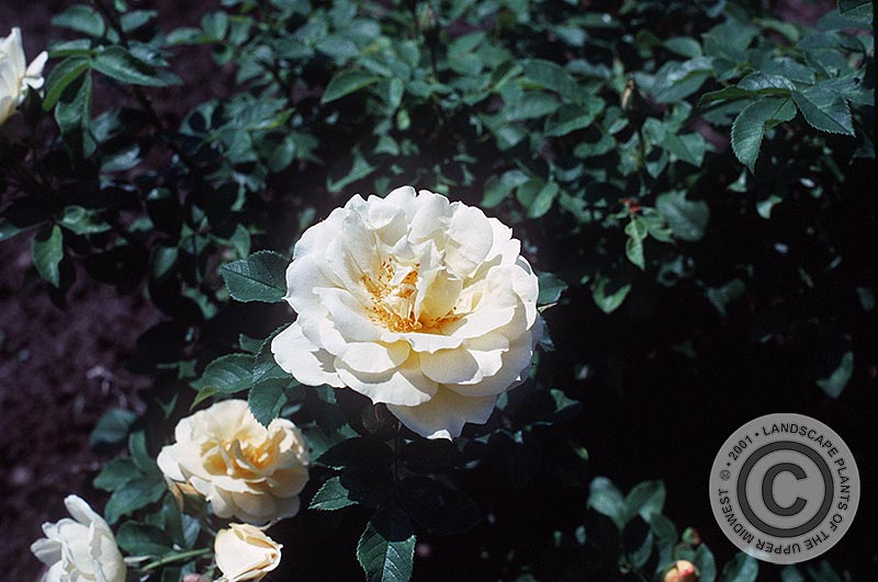 {Picture of Topaz Jewel Rugosa Rose}