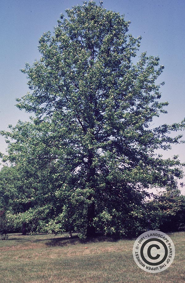 {Picture of Pin Oak}