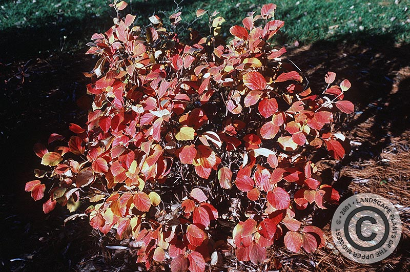 {Picture of Large Fothergilla}