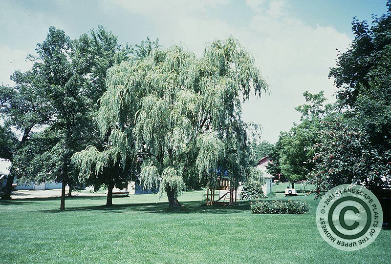 {Picture of Wisconsin Weeping Willow}