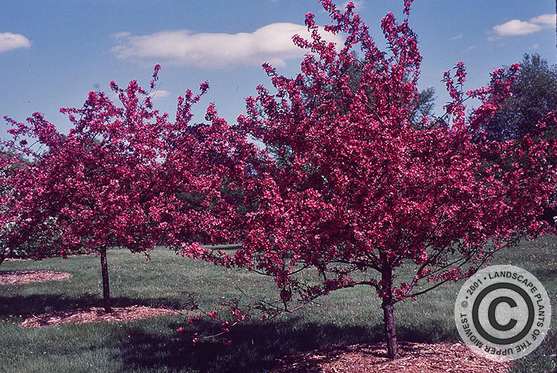 {Picture of Prairie Fire Flowering Crabapple}