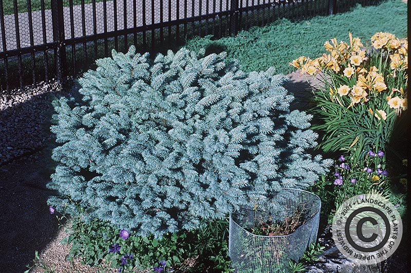 {Picture of Montgomery Blue Colorado Spruce}