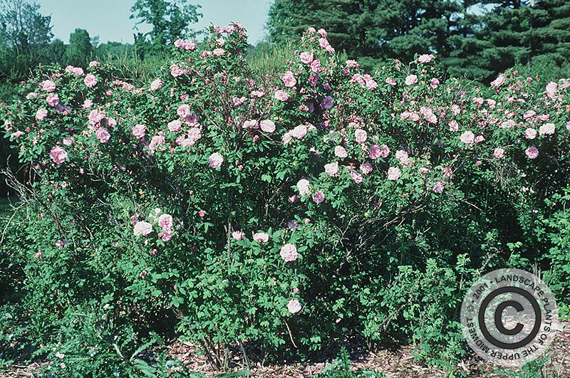 {Picture of Therese Bugnet Rugosa Rose}