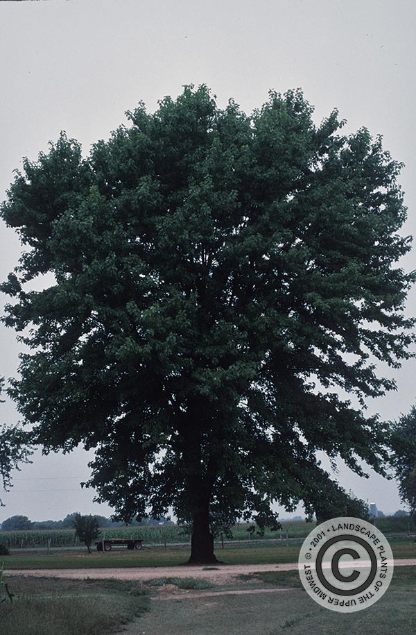 {Picture of Silver Maple}