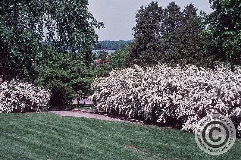 {Picture of Vanhoutte Spirea}
