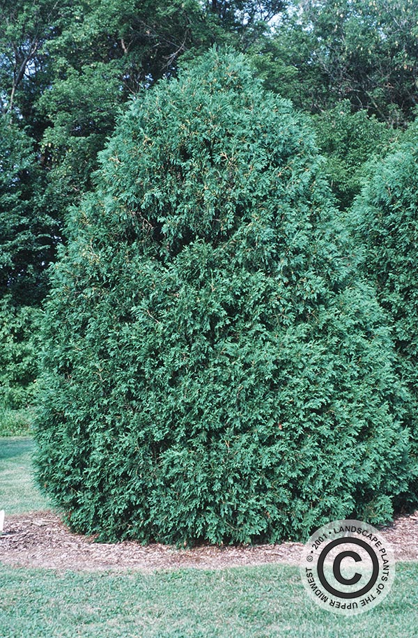 {Picture of Techny or Mission Strain Arborvitae}