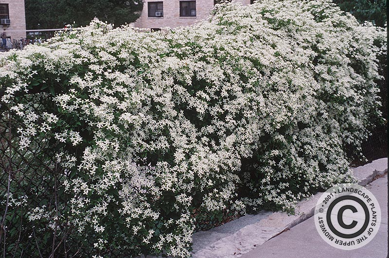 {Picture of Sweetautumn Clematis}