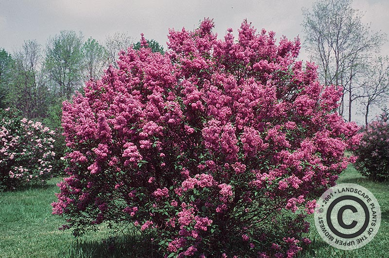 {Picture of Saugeana Chinese Lilac}