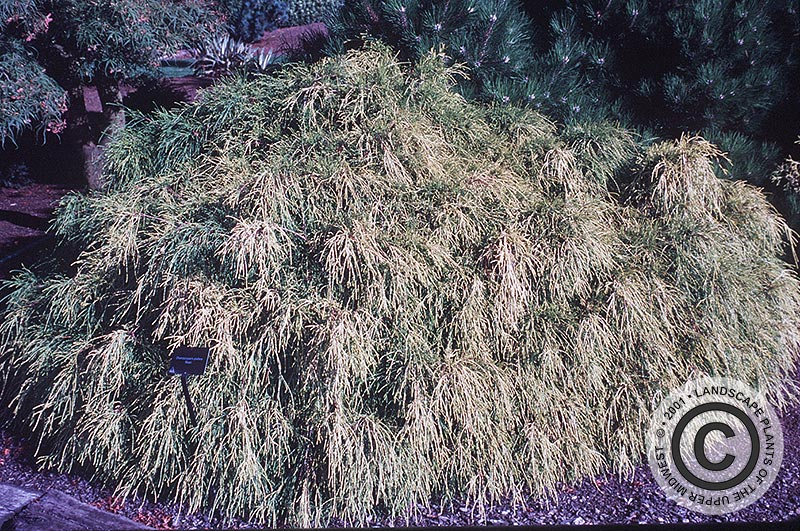 {Picture of Goldmop Japanese Falsecypress}