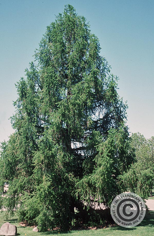 {Picture of European Larch}
