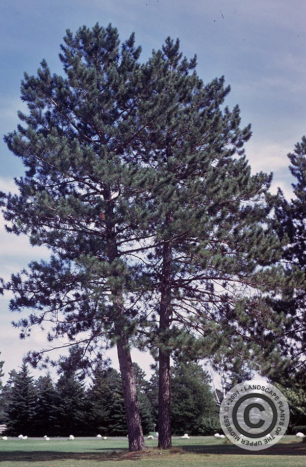 {Picture of Red Pine}
