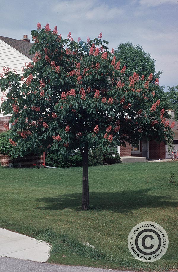 {Picture of Brioti Red Horsechestnut}