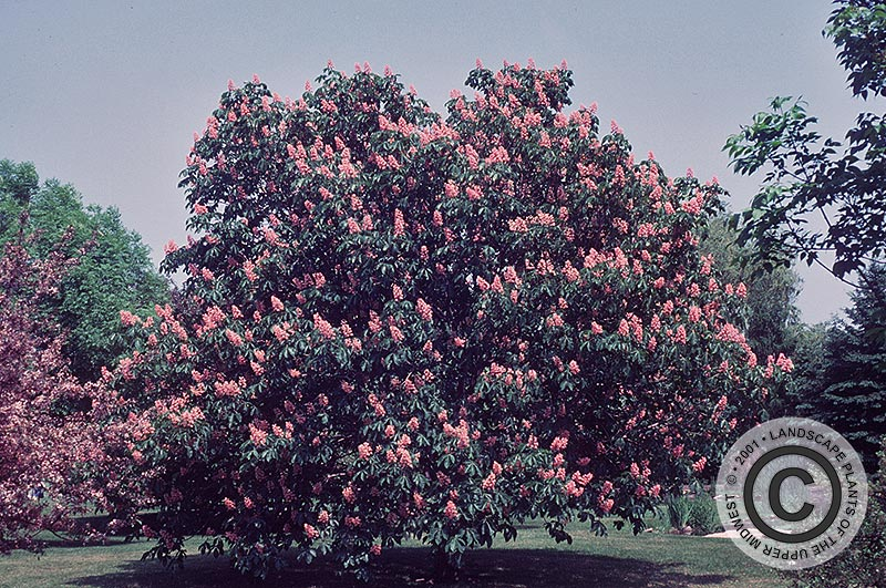 {Picture of Red Horsechestnut}