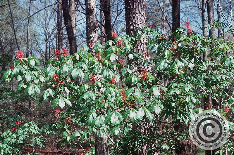 {Picture of Red Buckeye}