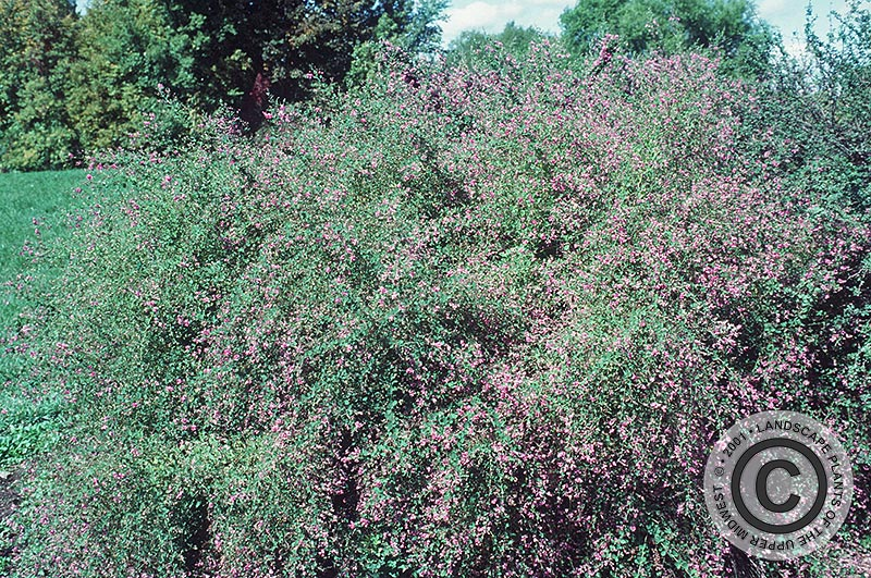 {Picture of Bushclover}