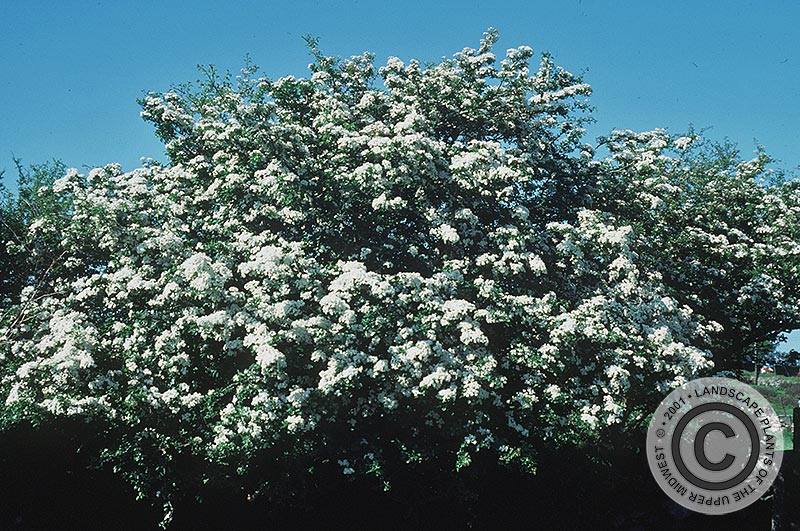 {Picture of English Hawthorn}