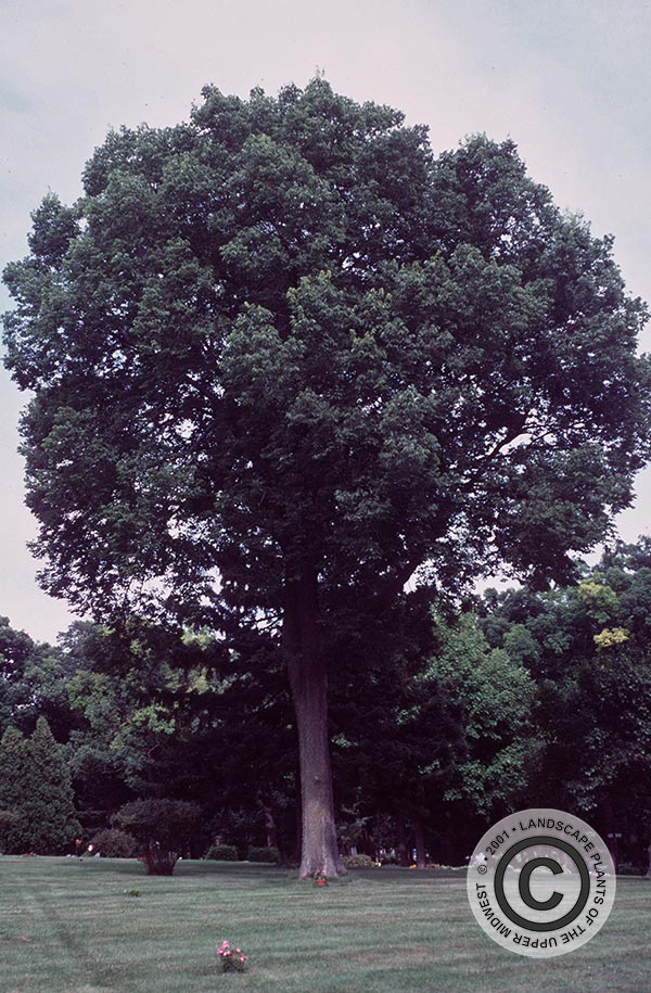 {Picture of Common hackberry}