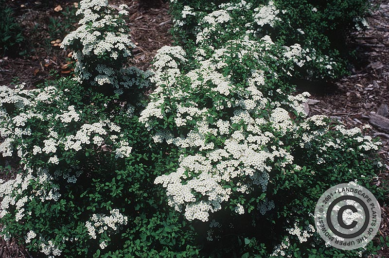 {Picture of Halward's Silver  Spirea}
