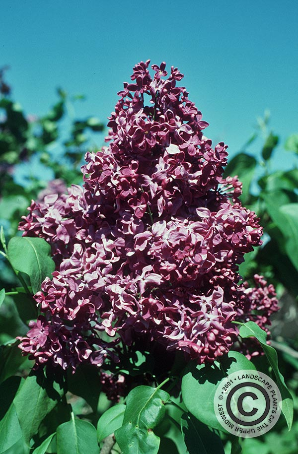 {Picture of Monge Lilac}