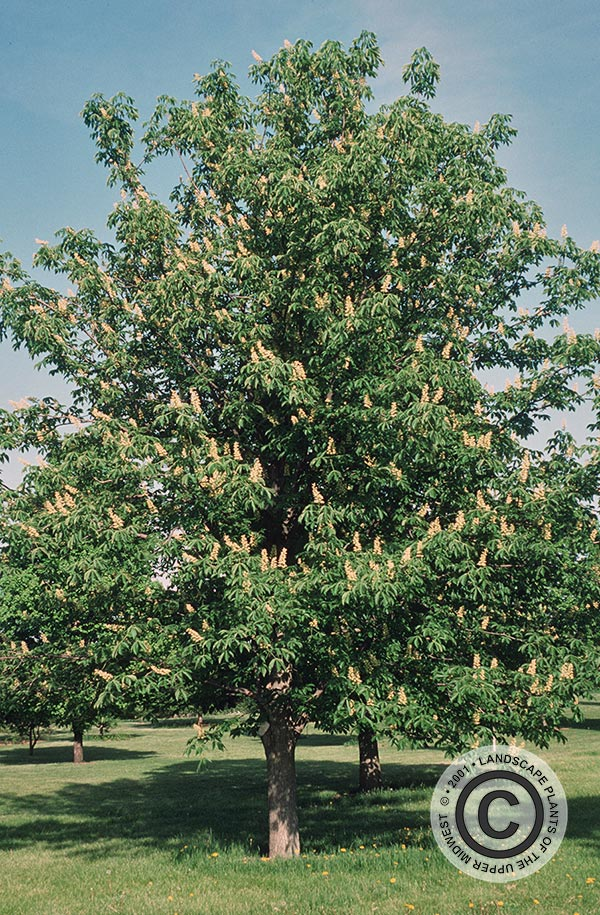 {Picture of Ohio Buckeye}