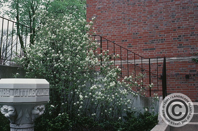 {Picture of Prince William Shadblow Serviceberry}