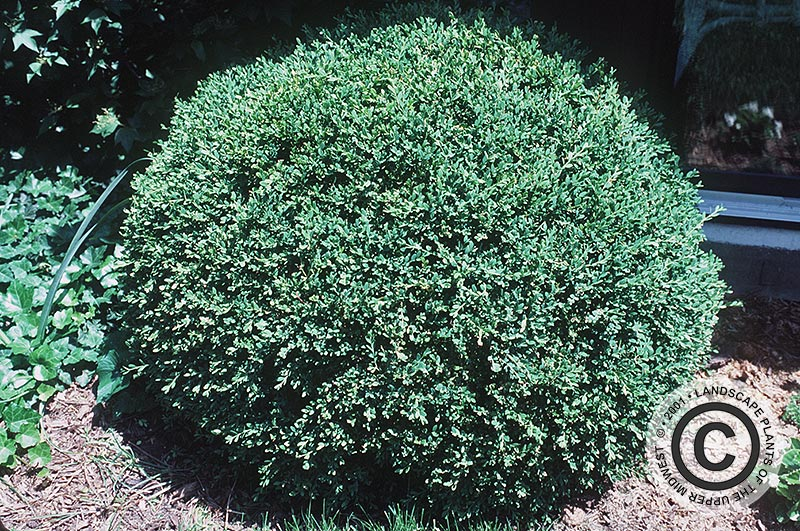 {Picture of Winter Green Korean Littleleaf Boxwood}