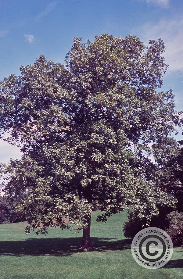 {Picture of Shagbark Hickory}