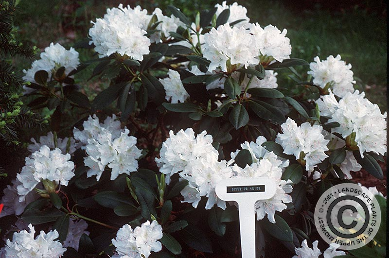 {Picture of Boule de Neige Rhododendron}