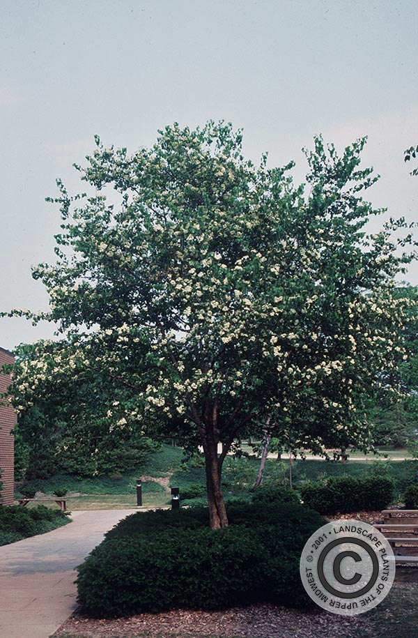 {Picture of Washington Hawthorn}
