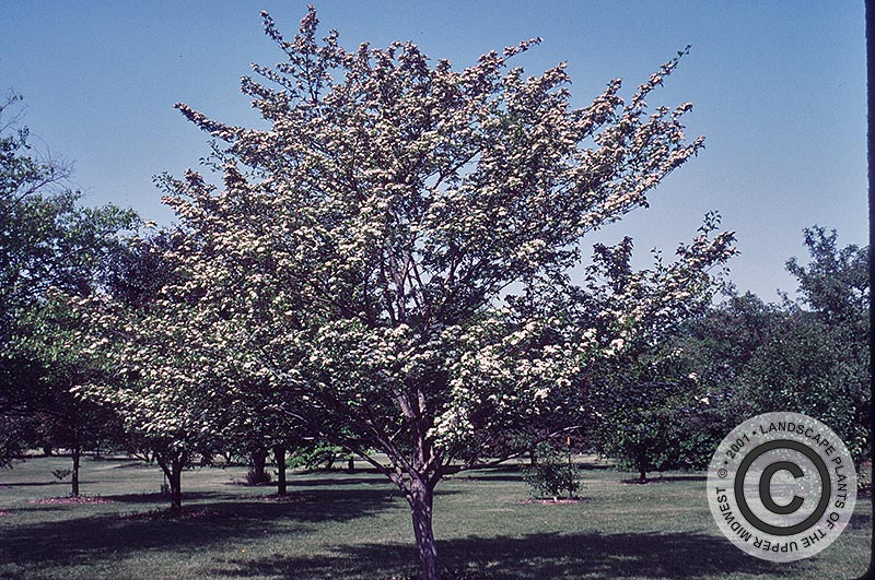 {Picture of Winter King  Hawthorn}
