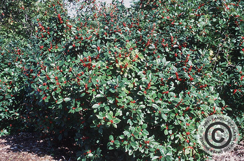 {Picture of Winterberry}